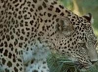 256px-Persischer_leopard2cele4